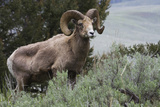 Rocky Mountain Bighorn Sheep Ram Photographic Print by Ken Archer