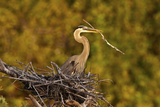 Florida, Venice, Great Blue Heron Building Nest Adding Stick Photographic Print by Bernard Friel