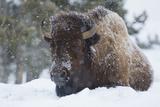 Bison Bull, Winter Storm Photographic Print by Ken Archer