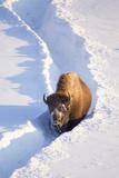 Wyoming, Yellowstone National Park, Hayden Valley, Bison Walking in Snow Trough Photographic Print by Elizabeth Boehm
