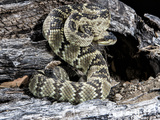 Arizona, Madera Canyon. Black Tailed Rattlesnake Coiled Photographic Print by Jaynes Gallery