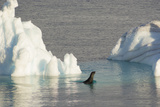 Antarctica. Gerlache Strait. Crabeater Seal and an Iceberg Photographic Print by Inger Hogstrom