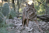 Coyote in Sonoran Desert. Canis Latrans. Tucson Mts, Tucson, Arizona Photographic Print by Thomas Wiewandt