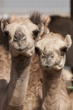 Camels at the Camel Market in Al Ain Near Dubai, United Arab Emirates Photographic Print by Michael DeFreitas
