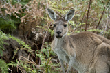 Australia, Perth, Yanchep National Park. Western Gray Kangaroo in Bush Habitat Photographic Print by Cindy Miller Hopkins