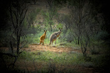 Australia, New South Wales, Broken Hill. a Red and Grey Kangaroo Photographic Print by Rona Schwarz