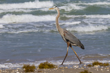 Cameron County, Texas. Great Blue Heron, Ardea Herodias, Feeding Reproduction photographique par Larry Ditto