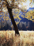 California, Yosemite National Park, California Black Oak Trees in a Meadow Photographic Print by Christopher Talbot Frank