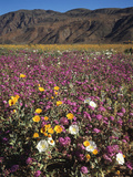 California, Anza Borrego Desert Sp, Wildflowers in Desert Photographic Print by Christopher Talbot Frank