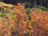 California, Sierra Nevada, Inyo Nf, Rred Fall Colors of Aspens Photographic Print by Christopher Talbot Frank