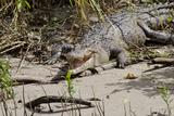 Australia, Daintree National Park, Daintree River. Saltwater Crocodile Photographic Print by Cindy Miller Hopkins