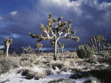 California, Joshua Tree National Park, Mojave Desert, Snow Covered Joshua Tree Photographic Print by Christopher Talbot Frank