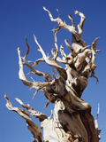 California, White Mountains, Bristlecone Pine in the White Mountains Photographic Print by Christopher Talbot Frank