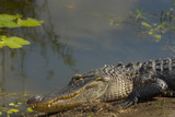 American Alligator on the Anhinga Trail, Everglades National Park, Florida Photographic Print by Maresa Pryor