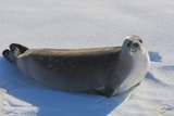 Antarctica. Near Adelaide Island. the Gullet. Crabeater Seal Photographic Print by Inger Hogstrom