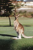 Australia, New South Wales, Yamba Golf Course, Eastern Grey Kangaroo Fotografisk tryk af Peter Skinner