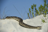 Eastern Diamondback Rattlesnake, Little St Simons Island, Georgia Photographic Print by Pete Oxford