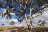 Australia, Fleurieu Peninsula, Normanville, Field with Cows Photographic Print by Walter Bibikow