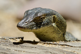 Australia, Territory Wildlife Park. Mertens Water Monitor Photographic Print by Cindy Miller Hopkins