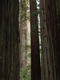 California, Humboldt Redwoods Sp, Old Growth Redwood Forest Photographic Print by Christopher Talbot Frank
