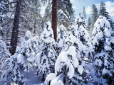 California, Sierra Nevada, Inyo Nf, Snow Covered Red Fir Tree Forest Lámina fotográfica por Christopher Talbot Frank