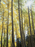 Colorado, San Juan Mts, Uncompahgre Nf, Fall Colors of an Aspen Trees Photographic Print by Christopher Talbot Frank