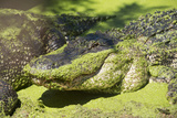 Australia, Broome. Malcolm Douglas Crocodile Park. American Alligator Photographic Print by Cindy Miller Hopkins