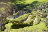 Australia, Broome. Malcolm Douglas Crocodile Park. American Alligator Photographic Print by Cindy Miller Hopkins
