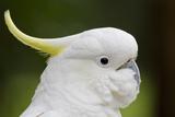 Australia, Dandenong National Park, Grants Reserve. Sulphur Crested Cockatoo Stampa fotografica di Cindy Miller Hopkins