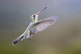 Arizona, Madera Canyon. Female Broad Billed Hummingbird in Flight Photographic Print by Jaynes Gallery
