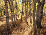 California, Sierra Nevada, Inyo Nf, the Autumn Colors of Aspen Trees Photographic Print by Christopher Talbot Frank