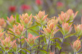 Alaska, Glacier Bay National Park. Indian Paintbrush Flowers Photographic Print by Jaynes Gallery