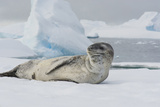 Antarctica. Charlotte Bay. Leopard Seal Sleeping on an Ice Floe Photographic Print by Inger Hogstrom