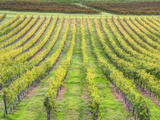 Europe, Italy, Tuscany. Vineyard in Autumn in Tuscany Photographic Print by Julie Eggers