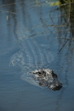 American Alligator Little St Simons Island, Barrier Islands, Georgia Fotografisk tryk af Pete Oxford
