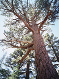 California, Sierra Nevada, Inyo Nf, Old Growth Ponderosa Pine Tree Photographic Print by Christopher Talbot Frank