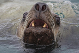 Alaska. Close Up of Stellar Sea Lion Face in Water Photographic Print by Jaynes Gallery