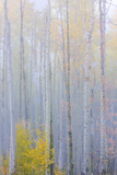 Colorado, Grand Mesa. Composite of Foggy Aspen Forest Photographic Print by Jaynes Gallery