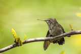Annas Hummingbird Perched on the Branch of a Honey Locust Tree Reproduction photographique par Michael Qualls