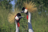 African Grey Crowned Cranes. Baraboo, Wisconsin Photographic Print by Thomas Wiewandt