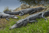 American Alligators Sunning, Anhinga Trail, Everglades National Park, Florida Photographic Print by Maresa Pryor
