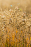 Colorado, Gunnison National Park. Close Up of Golden Grasses Photographic Print by Jaynes Gallery