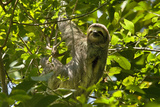 Central America, Costa Rica. Male Juvenile Three Toed Sloth in Tree Fotografisk tryk af Jaynes Gallery