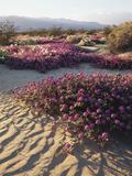 California, Anza Borrego Desert Sp, Sand Verbena on a Sand Dune Photographic Print by Christopher Talbot Frank