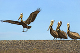 Brown Pelicans. Sonoran Desert Island in San Ignacio Lagoon, Mexico Photographic Print by Thomas Wiewandt