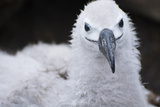 Falkland Islands. West Point Island. Black Browed Albatross Chick Photographic Print by Inger Hogstrom