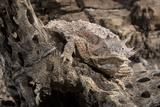 Arizona, Madera Canyon. Close Up of Regal Horned Lizard Reproduction photographique par Jaynes Gallery