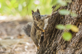 Eastern Sierra Nevada. an Inquisitive Douglas Squirrel or Chickaree Photographic Print by Michael Qualls