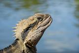 Australia, Queensland, Mount Tamborine. Australian Water Dragon Reproduction photographique par Cindy Miller Hopkins