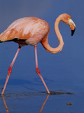 American Flamingo, Isla Floreana, Galapagos Islands, Ecuador Photographic Print by Thomas Wiewandt